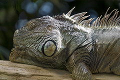 Biiiig iguana (Tambako the Jaguar) Tags: green gray iguana big reptile profile portrait face lying resting branch log zürich zoo switzerland nikon d5