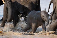 Obstacle course (leendert3) Tags: leonmolenaar southafrica krugernationalpark wildlife nature mammals africanelephant ngc naturethroughthelens npc coth5
