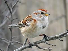 American Tree Sparrow RP IMG_3984 (Jennz World) Tags: ©jennifermlivick americantreesparrow sparrow riversidepark cambridge ontario canada bird