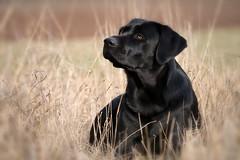 good girl (uwe.kast) Tags: labrador labradorretriever labradorredriver hund haustier dog bichou bokeh panasonic lumix g9 gras