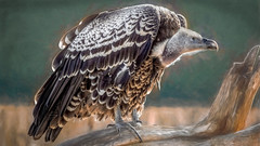 Ruppell's griffon vulture (Flight of life) Tags: ruppells griffon vulture national zoo endangered species