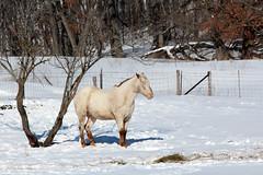 Snoozin' Chestnut (LauraWentz) Tags: chestnut horse winter sunshine morning snow snoozin nap happyfencefriday