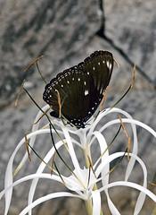 Butterfly on Spider Lily! (Uhlenhorst) Tags: 2016 indonesia indonesien bali animals tiere plants pflanzen flowers blumen blossoms blüten travel reisen coth coth5 worldofanimals