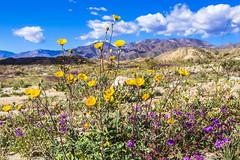 Desert sand verbena (Abronia villosa) and desert sunflower (Abronia villosa) (slworking2) Tags: borregosprings california unitedstatesofamerica us anzaborrego anzaborregodesertstatepark wildflowers desert blooming sandiego