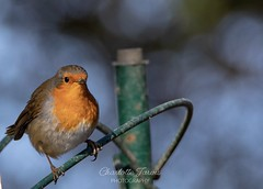 Robin red breast (charlottejarvis@live.co.uk) Tags: bird england uk bucks marlow robin