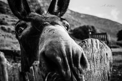 What's up? (agnieszkawojcik) Tags: bw bnw blancetnoir blackandwhite blancoynegro blanconegro blackwhite noiretblanc czarnobiałe biancoenero białoczarne monotone mono monochromatic monochrome nature naturallight rural donkey animal path bokeh shallowdof fence eye eyes nose ears amorgos cyclades greece γάιδαροσ ελλάδα αμοργόσ κυκλάδεσ travel canon canon350d
