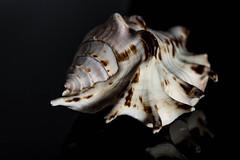 Shooting Seashells (lclower19) Tags: seashell sb600 closeup odc dark light contrast