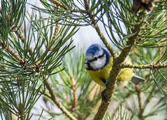 inquisitively watching (alderson.yvonne) Tags: bluetit blue yellow tree treetop forest nikon d7200 yvonne yvonnealderson bird gardenbird