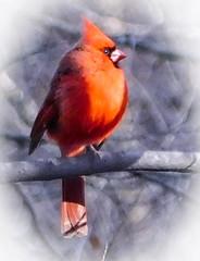 the cardinal (bidutashjian) Tags: bird cardinal wild nature red bidutashjian nikon outside