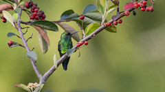 Western emerald hummingbird (PriscillaBurcher) Tags: trochilidae chlorostilbonmelanorhynchus esmeraldacoliazul esmeraldadecolaazul westernemerald esmeraldaoccidental émeraudedesandesoccidentales émeraudeorvert hummingbirdsfromcolombia colibríesdecolombia laceja colombia priscillaburcher dsc1897