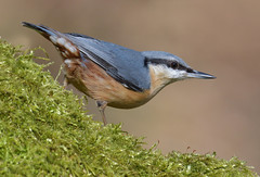 Nuthatch (KHR Images) Tags: nuthatch eurasiannuthatch sittaeuropaea wild bird lackford lakes suffolk eastanglia wildlife nature nikon d500 kevinrobson khrimages