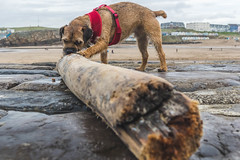 Barking Mad (NVOXVII) Tags: dog bude cornwall kernow stick terrier canon beach walking perspective wood rustic texture colour