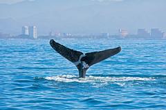 Humpback whale tail (jercrix) Tags: whale whalewatching humpback humpbackwhale nature ballena ballenajorobada ocean sea life wild nikon telephoto diving blue city mexico jalisco