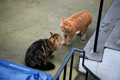 new cat in town (HoosierSands) Tags: cat ginger ealing london