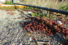 Red succulent @ Annecy (*_*) Tags: spring printemps 2019 march afternoon sunny europe france hautesavoie 74 annecy savoie