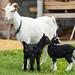 Белая коза Лада и её дочки Радуга и Звёздочка (май 2018)