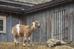 Goat Paddock @ Riverdale Farm (A Great Capture) Tags: agreatcapture agc wwwagreatcapturecom adjm ash2276 ashleylduffus ald mobilejay jamesmitchell toronto on ontario canada canadian photographer northamerica torontoexplore spring springtime printemps 2019 riverdale farm urban city cabbagetown animal goat paddocks riverdalefarm