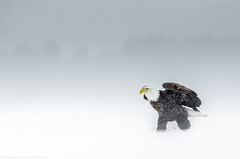 American Bald eagle - Pygargue à tête blanche (www.andrebherer.com) Tags: bird birds oiseau oiseaux nature wildlife faune fauna eagle baldeagle americanbaldeagle pygargue pygargueàtêteblanche rapace aigle blizzar hiver outaiouais quebec canada andrebherer