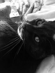Yuba (sjrankin) Tags: 8january2019 edited animal cat yuba closeup grayscale bed bedroom kitahiroshima hokkaido japan