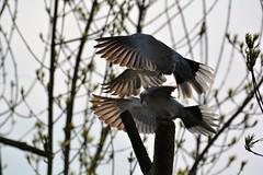 Love takes flight! (suekelly52) Tags: collareddoves bird flight feathers wings