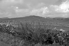 WildGooseberry (Tony Tooth) Tags: nikon d7100 sigma 1750mm gooseberry gooseberrybush wildgooseberry bw blackandwhite monochrome stonewall countryside landscape peakdistrict stanshope staffordshiremoorlands staffs staffordshire england