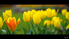 Tulipes (Alexandre LAVIGNE) Tags: pentaxk1 saintquentin samyang85mmf14asifumc format2351 2019 fleurs flowers green jaune k1 lumière nature printemps spring tulipes yellow aisne france fr