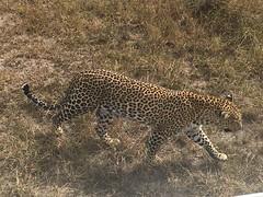 IMG_1568 (suuzin) Tags: masai mara safari