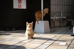 猫 (fumi*23) Tags: ilce7rm3 sony street sel55f18z 55mm sonnartfe55mmf18za sonnar zeiss katze neko chat cat gato a7r3 animal alley ねこ 猫 ソニー