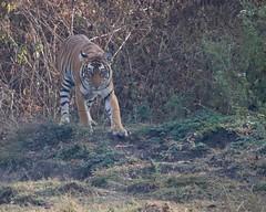 Walking wounded (Nagarjun) Tags: nagarholenationalreserve riverkabini tiger tigress bigcat animal wildlife safari