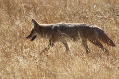 Coyote (jpotto) Tags: usa wyoming yellowstone yellowstonenationalpark coyote animal canyonjunction