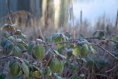wintertime...... (atsjebosma) Tags: leafs frozen winter cold bladeren bevroren koud licht morning sun zonlicht atsjebosma denbosch thenetherlands nederland natureinfocusgroup