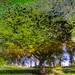Duckweed-Leafe-Tree