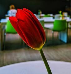 Red Tulip in a cafe (dksesha) Tags: seshadri dhanakoti harita googlepixel3xl googlepixel pixel3 pixel3xl cafe flower sesh seshfamily haritasya vilambisamvatsara google pixel tilottama woking tulip