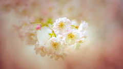 Spring Blossom (Dhina A) Tags: sony a7rii ilce7rm2 a7r2 a7r kodak ektanar c 102mm f28 projection projector lens kodakektanar102mmf28 vintage bokeh smooth soft bubble manualfocus spring blossom flower colorful