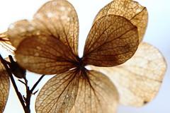 #lookup #MacroMonday (Keizerphoto) Tags: macromonday lookup fragile petal abstract bokeh