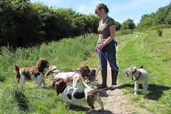 Benjy,Ernie,Deirdre,Bella and Lemmy (billnbenj) Tags: benjy spaniel springerspaniel dog barrow cumbria