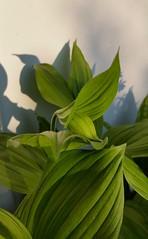 Cypripedium Gisela (Chaufglass) Tags: cypripediumgisela cypripedium gisela sabotdevénus orchid terrestrial terrestre