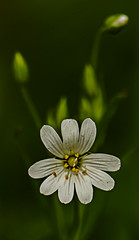 Greater Stitchwort (ianbartlett) Tags: outdoor 365 nature wildlife landscapes monochrome cars pylons waterfalls deer lambs insects flowers trees bridges streams ponds orchids bluebells boathouse