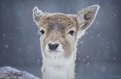 Snowy Bambi (Paula Darwinkel) Tags: deer fallowdeer fawn animal wildlife nature winter snow cute wildlifephotography