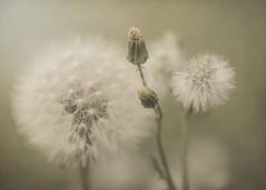 Soñar con primaveras de algodón (M & Pi) Tags: primavera spring printemps
