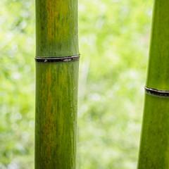 BambooGreen.jpg (Klaus Ressmann) Tags: omd em1 abstract biwu china klausressmann moganshanmountain nature winter bamboo design flcabsnat minimal softtones squareformat omdem1