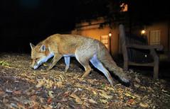 Urban fox (Vulpes vulpes), Bristol, Ian Wade (Disorganised Photographer - Ian Wade - Travel, Wil) Tags: urban fox bristol red ian wade wildlife vulpes city canon photograpy