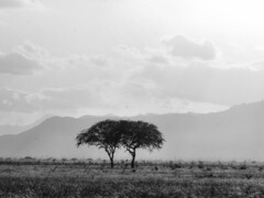 Tsavo East marshes (igor29768) Tags: marshland acacia trees grass sunlight eventide escaprment tsavo africa kenya bw black white silhouette panasonic lumix gx7 100300mm yatta plateau