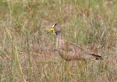 African Wattled Lapwing (douwesvincent) Tags: nature uganda oeganda africa world earth eco natural outdoor safari wild open holiday trip birding explore green flora fauna life