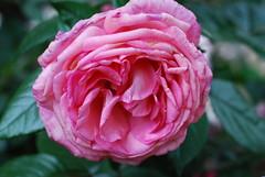 Wie mächtig tönt jetzt jeder Name (amras_de) Tags: rose rosen ruža rosa ruže rozo roos arrosa ruusut rós rózsa rože rozes rozen roser róza trandafir vrtnica rossläktet gül blüte blume flor cvijet kvet blomst flower floro õis lore kukka fleur bláth virág blóm fiore flos žiedas zieds bloem blome kwiat floare ciuri flouer cvet blomma çiçek