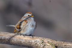 American tree sparrow / Bruant Hudsonien (patricksavard) Tags: american hudsonien bruant sparrow tree