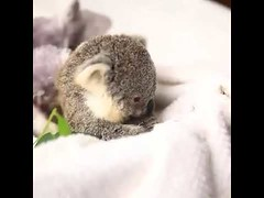 Cute Koala Just looking for a lil snack (tipiboogor1984) Tags: awwstations aww cute cats dogs funny