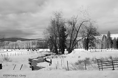 Snowy Field Near Glenwood, WA (Gary L. Quay) Tags: washington winter christmas snow field stream cows cattle light fence nikon garyquay clouds pacificnorthwest westernusa