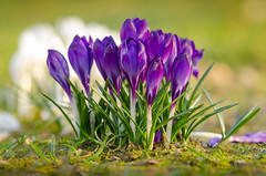 Beautiful crocusses shining in the sun (Martin Bärtges) Tags: flowers blumen pflanzen plants blossoms blüten crocus krokus lila white colorful farbenfroh drausen outsode outdoor nikon d7000 nikonfotografie nikonphotography nature natur naturfotografie naturephotography sun sunshine sonne sonnenschein spring frühling frühjahr macro makro makrofotografie macrophotography