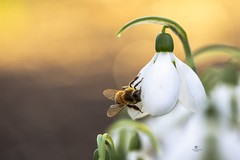 It smells like spring (Melanie Martinu) Tags: bokeh floral little bavaria germany macrophotography white garden macro light sunlight blossom flower insect nature snowdrop bee
